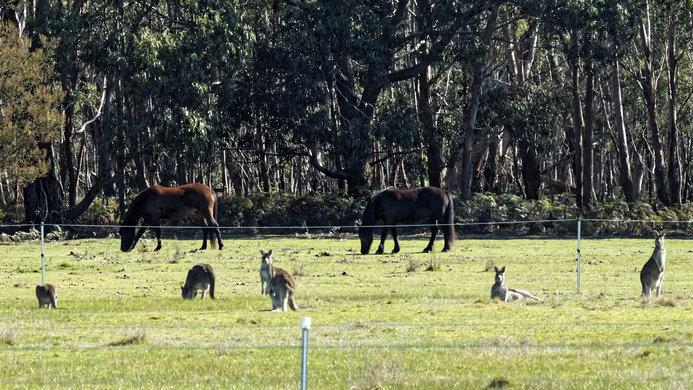 Horses-kangaroos-3-16-9.jpeg