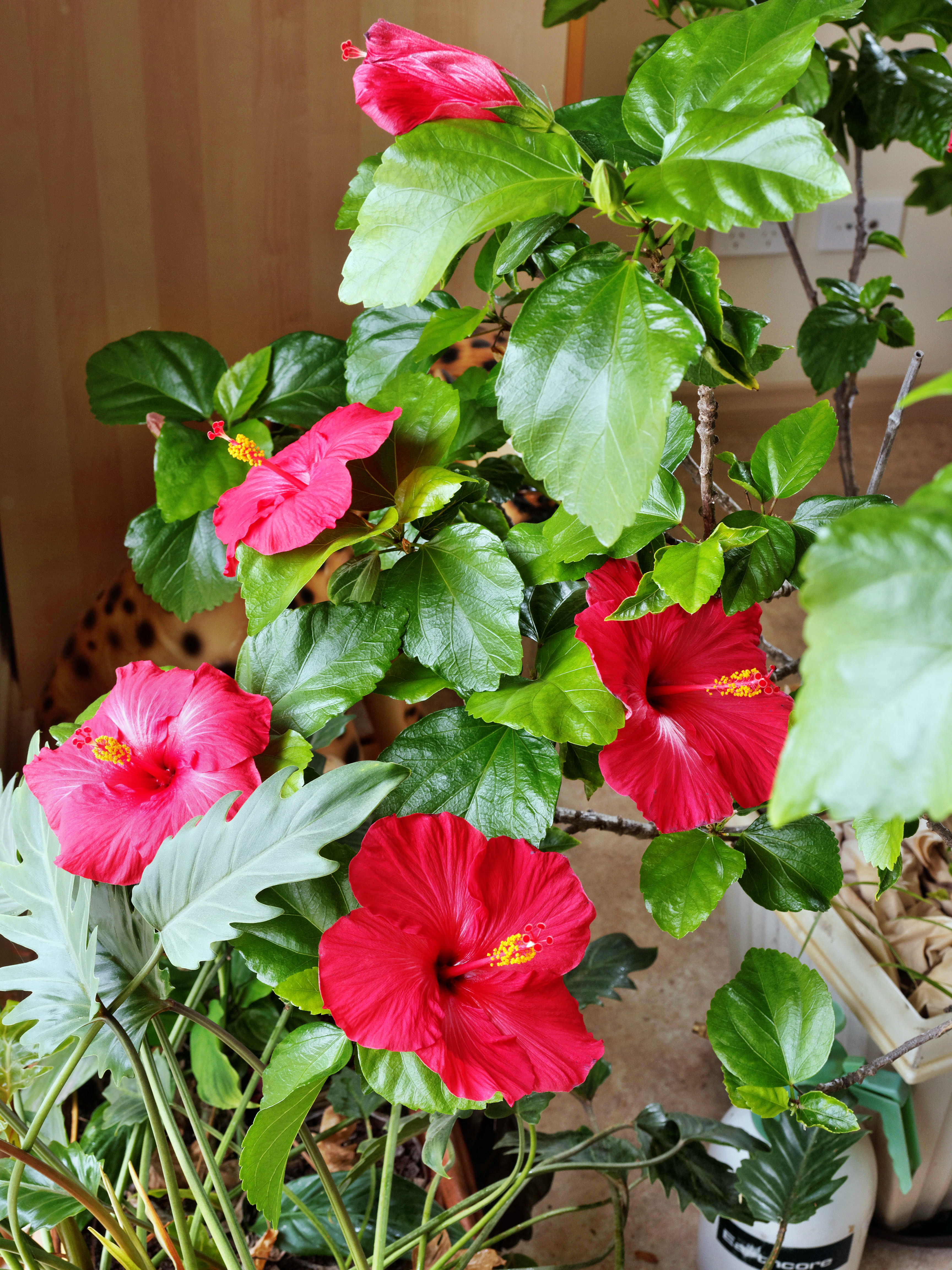 This should be Hibiscus.jpeg.  Is it missing?