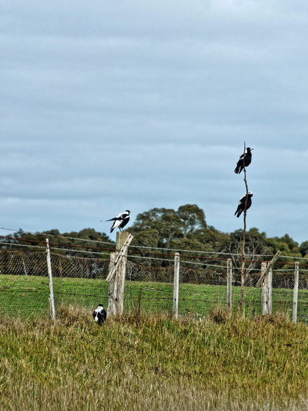 Magpies-2.jpeg