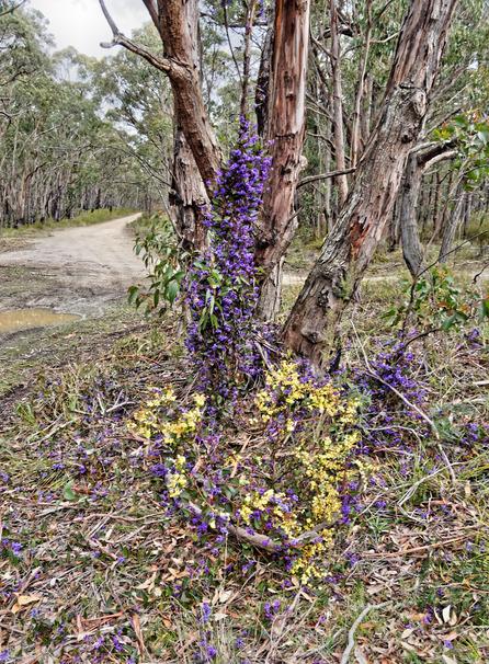 Hardenbergia-Acacia.jpeg