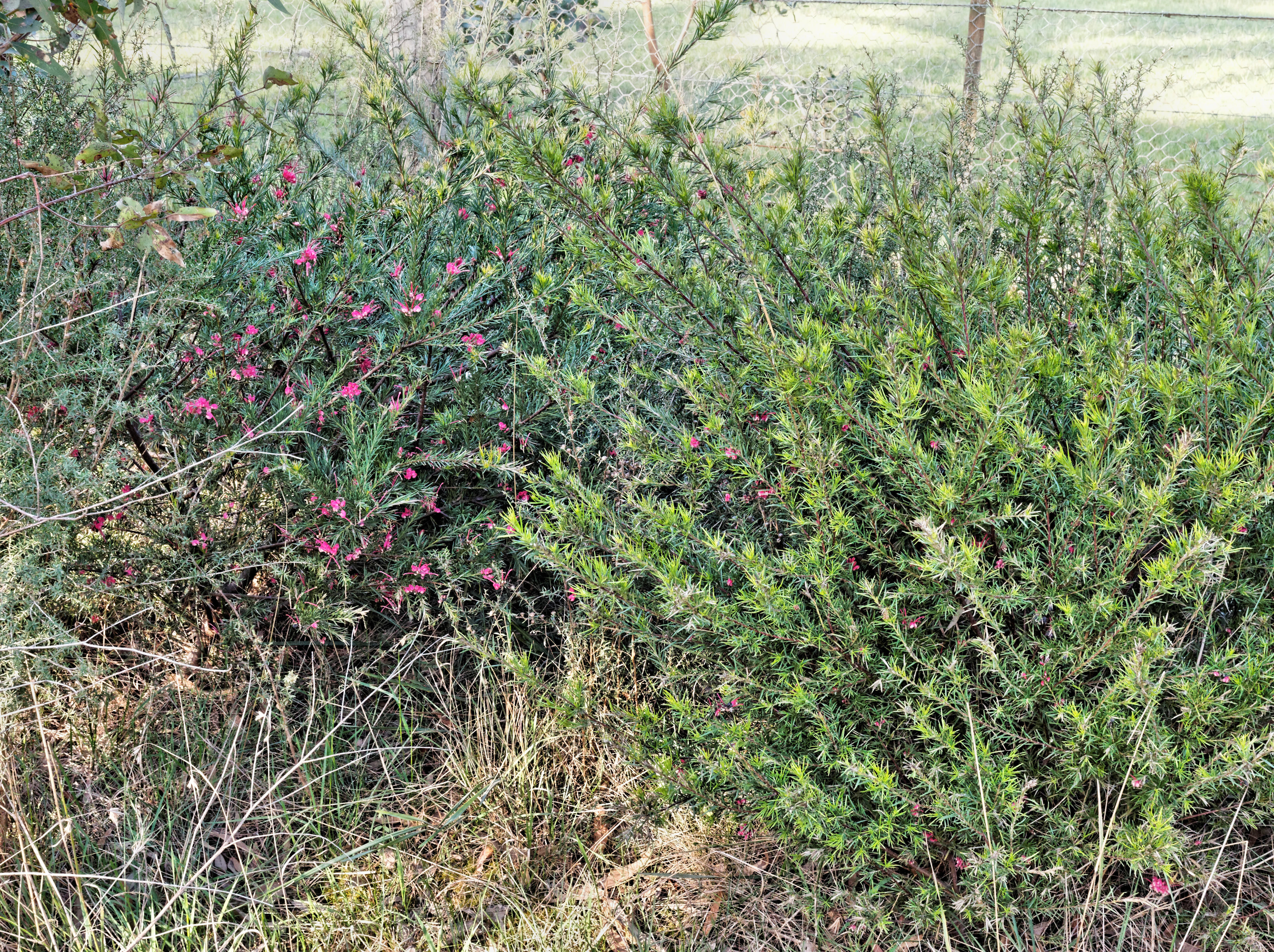 This should be Grevillea-rosmarinifolia.jpeg.  Is it missing?