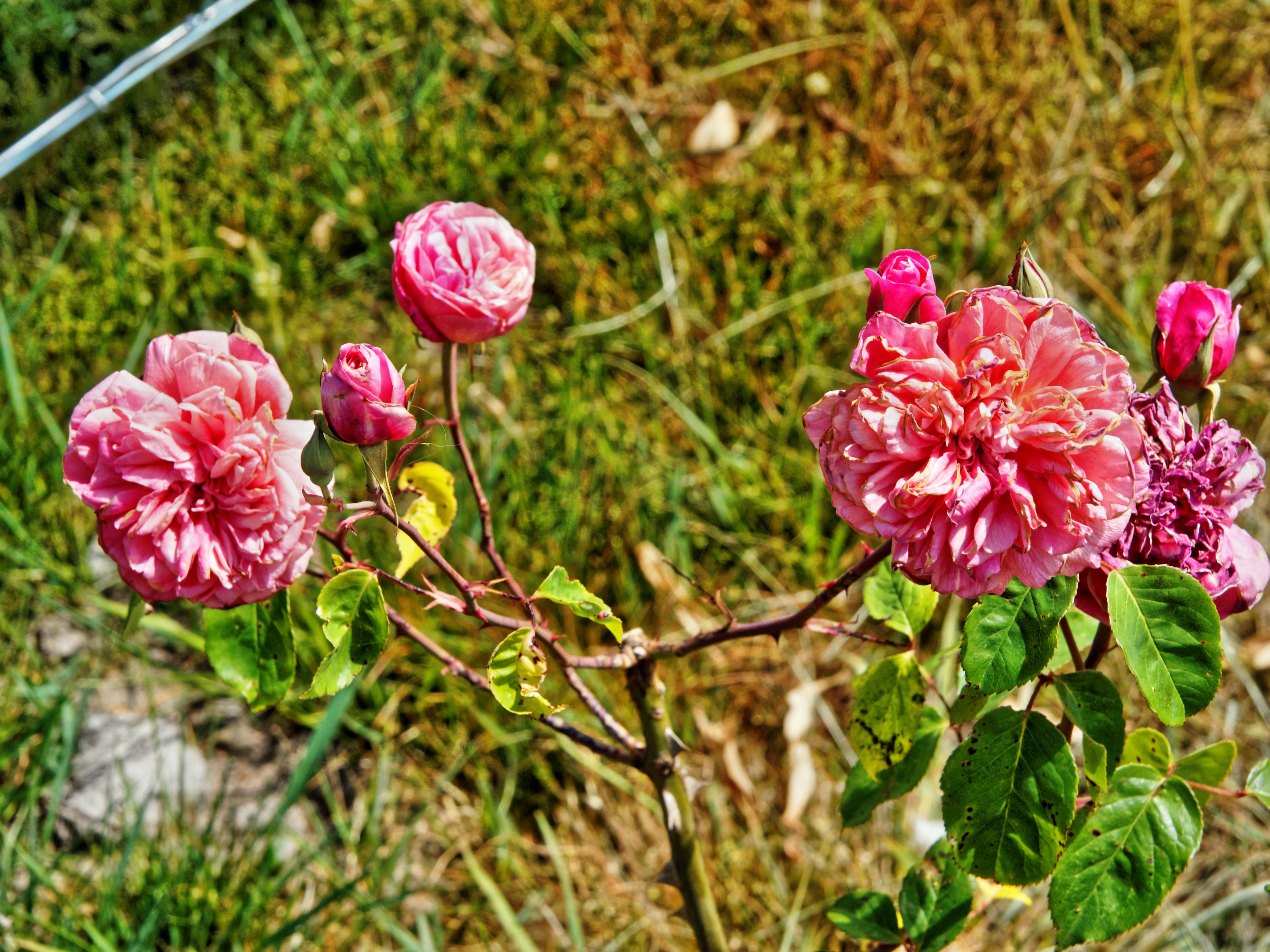 Roses-1.jpeg
