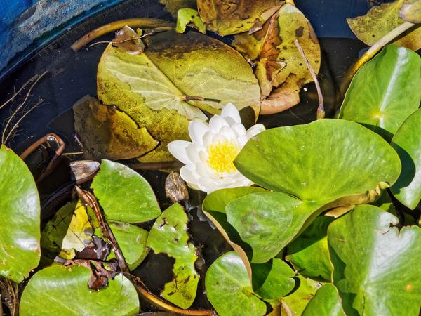 Waterlily-1.jpeg