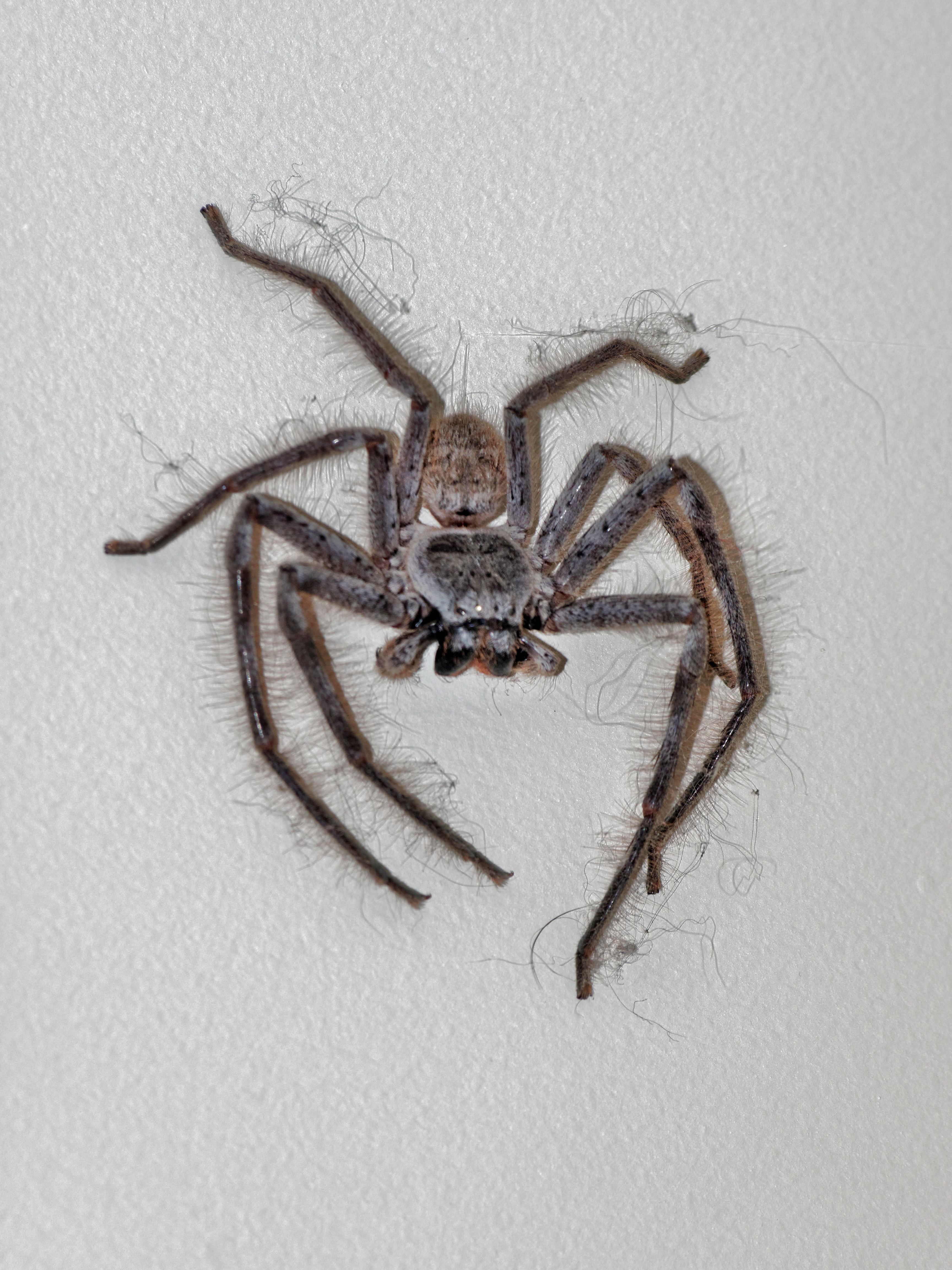 This should be Huntsman-spider-1.jpeg.  Is it missing?