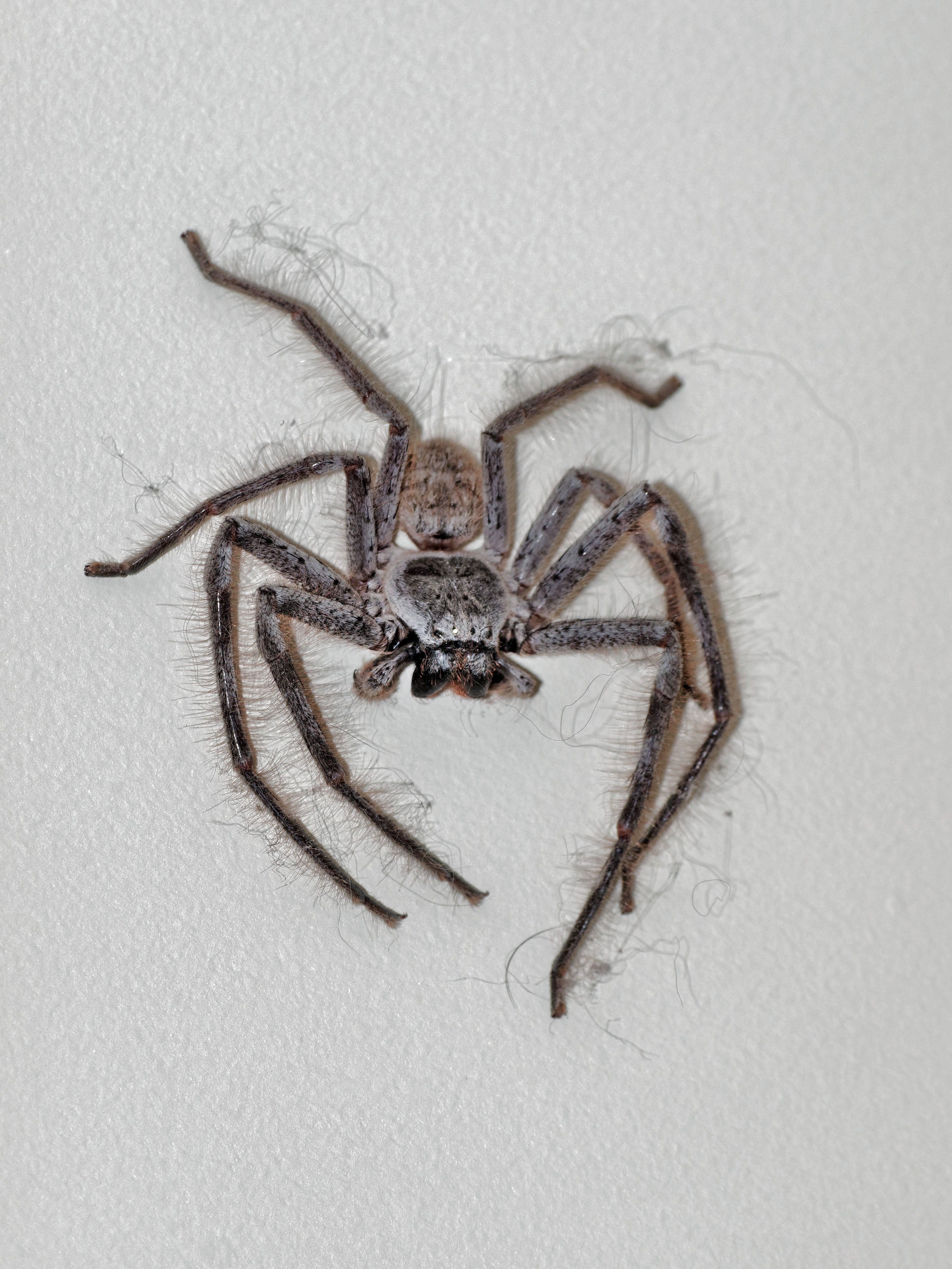 This should be Huntsman-spider-2.jpeg.  Is it missing?