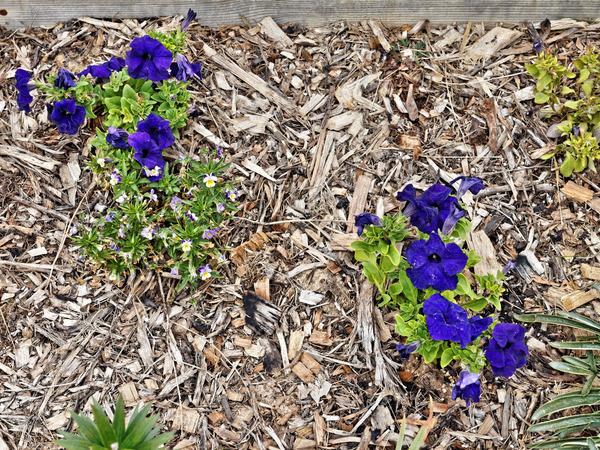 Petunias-2.jpeg