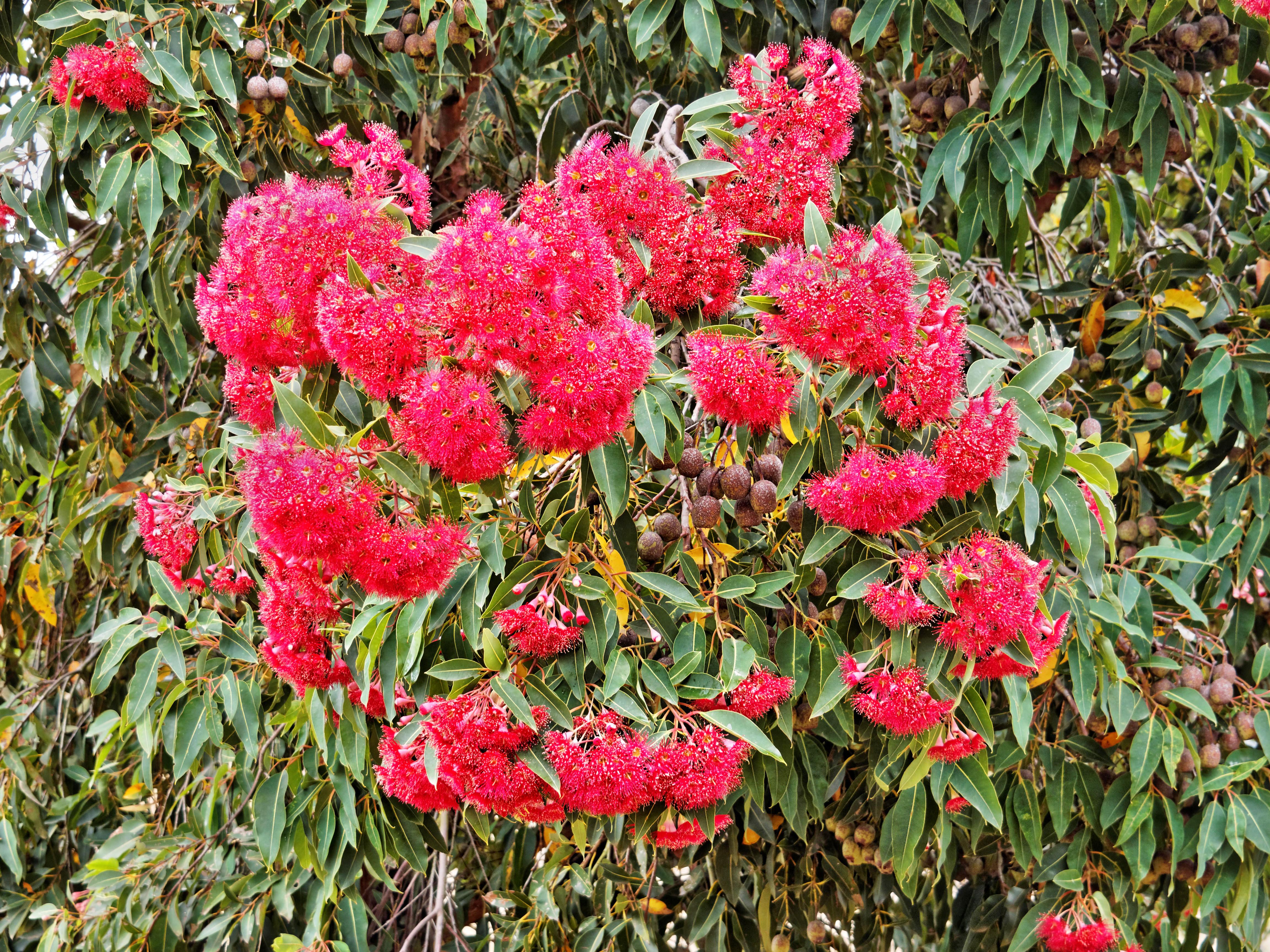 Eucalyptus-flowers-3.jpeg