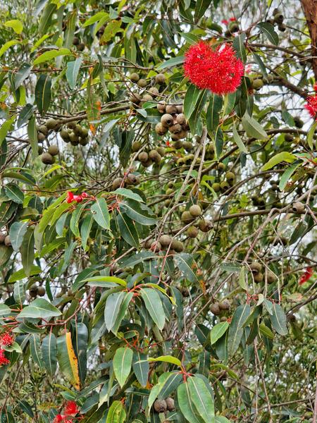 Eucalyptus-flowers-1.jpeg