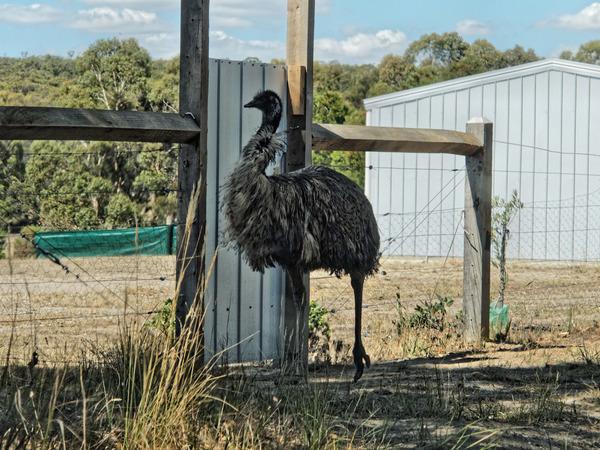 Emu-1.jpeg