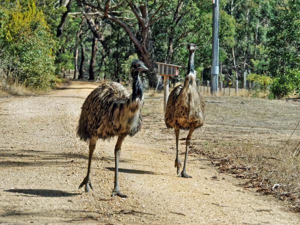 Emu-5.jpeg