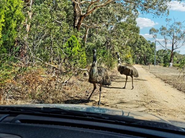 Emu-6.jpeg