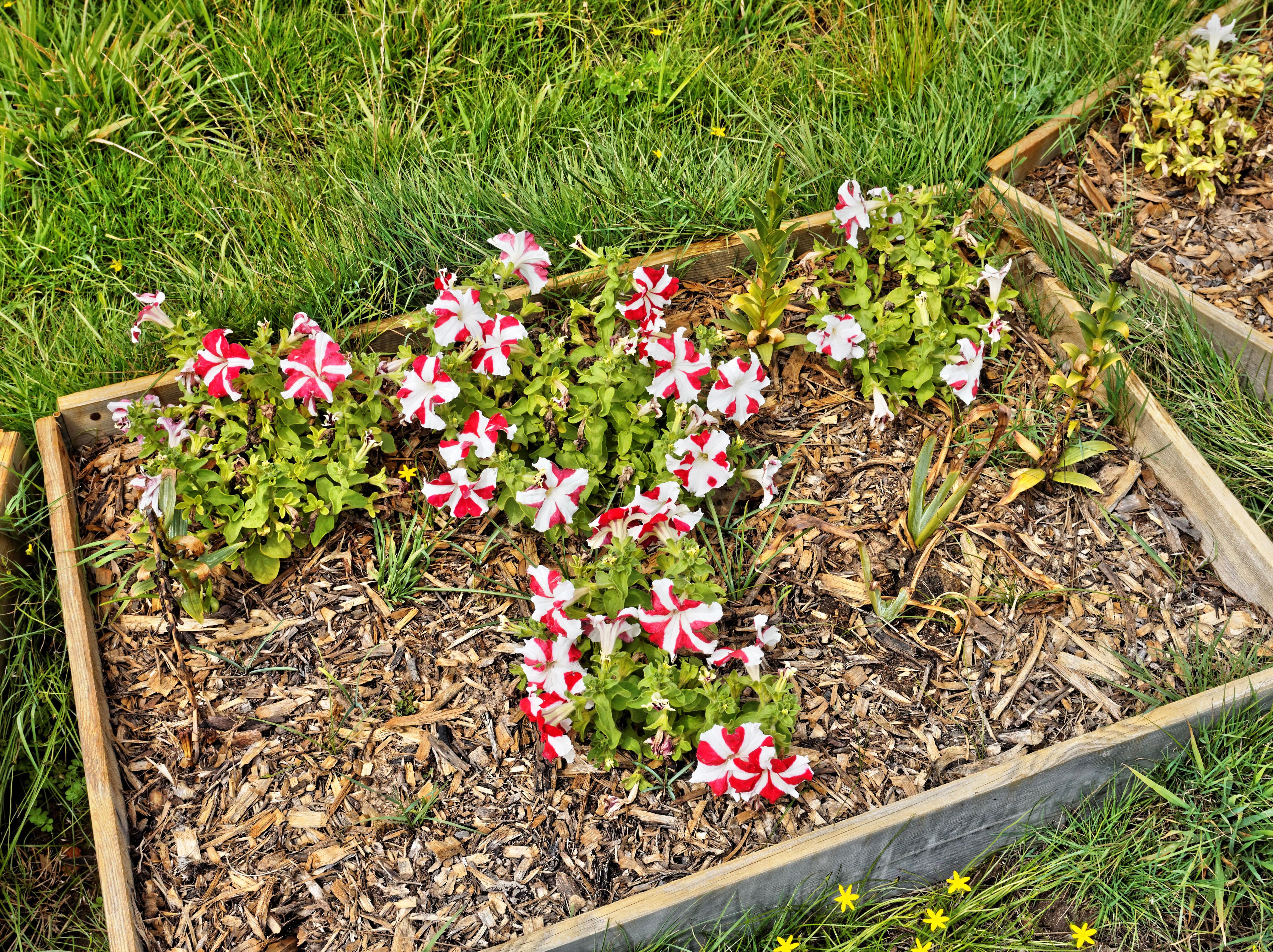 Petunias-3.jpeg