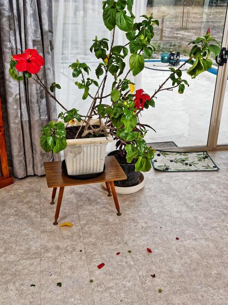 Hibiscus-1.jpeg