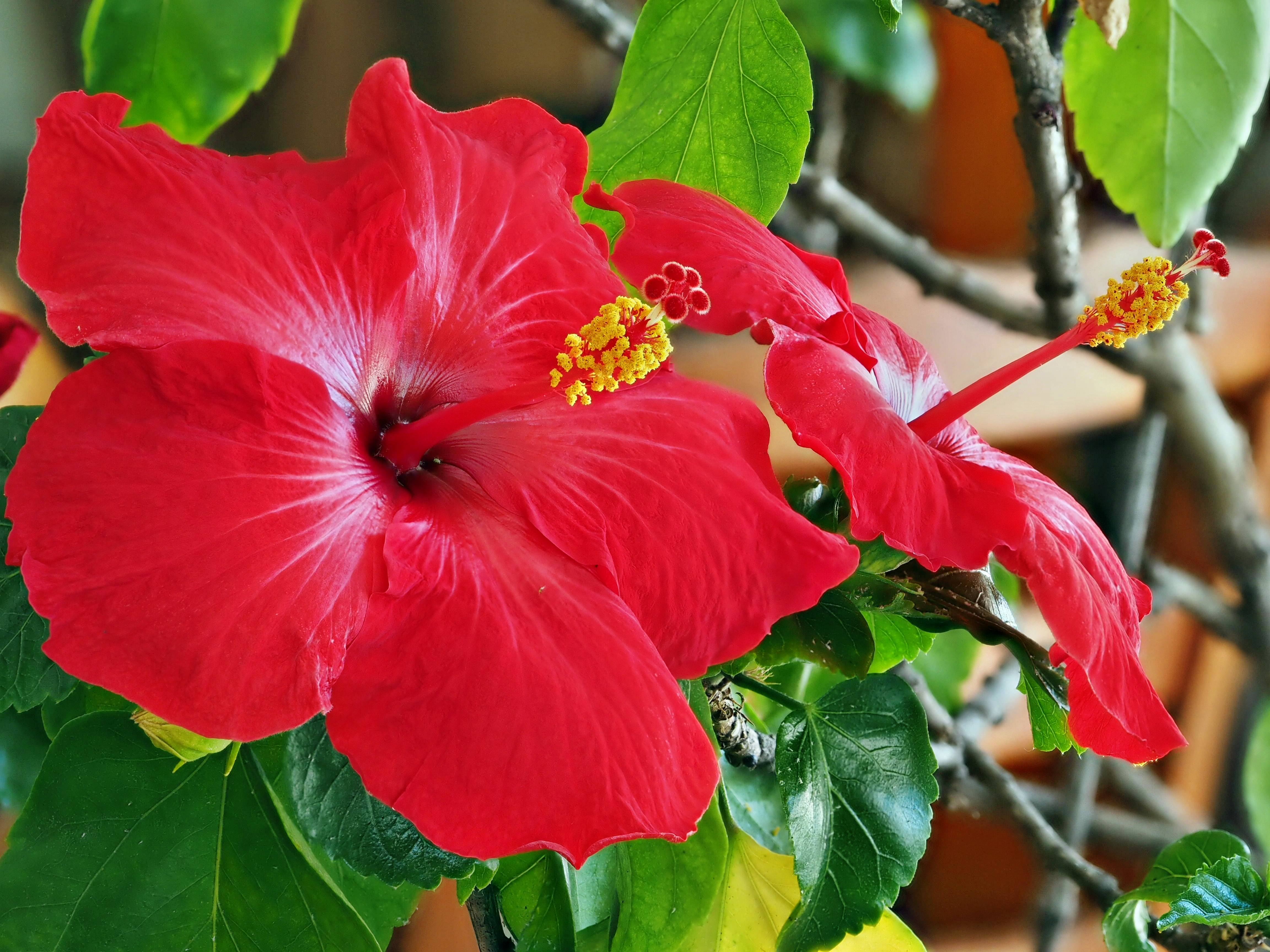 Hibiscus-1-stacked.jpeg