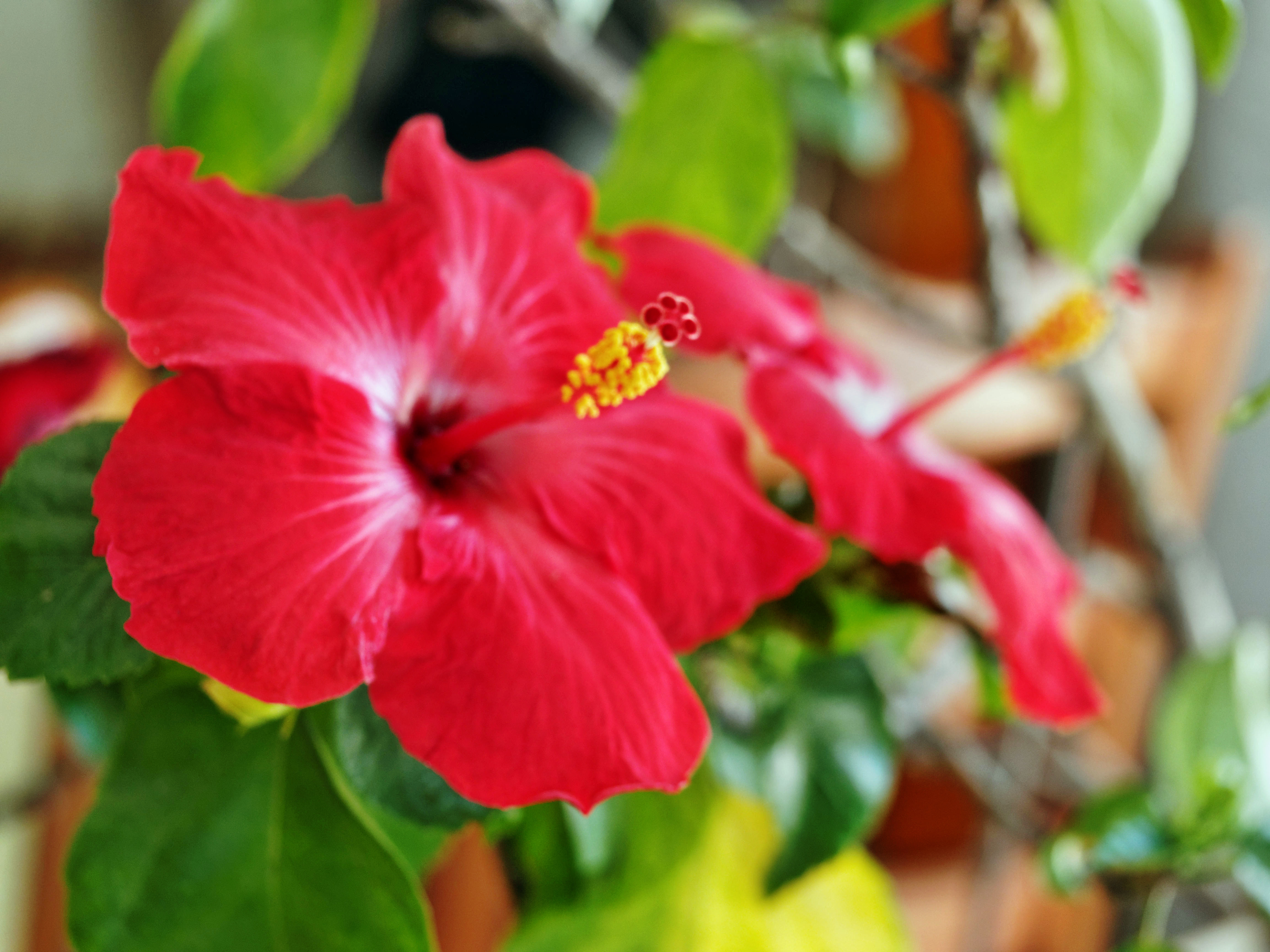 This should be Hibiscus-2-single.jpeg.  Is it missing?