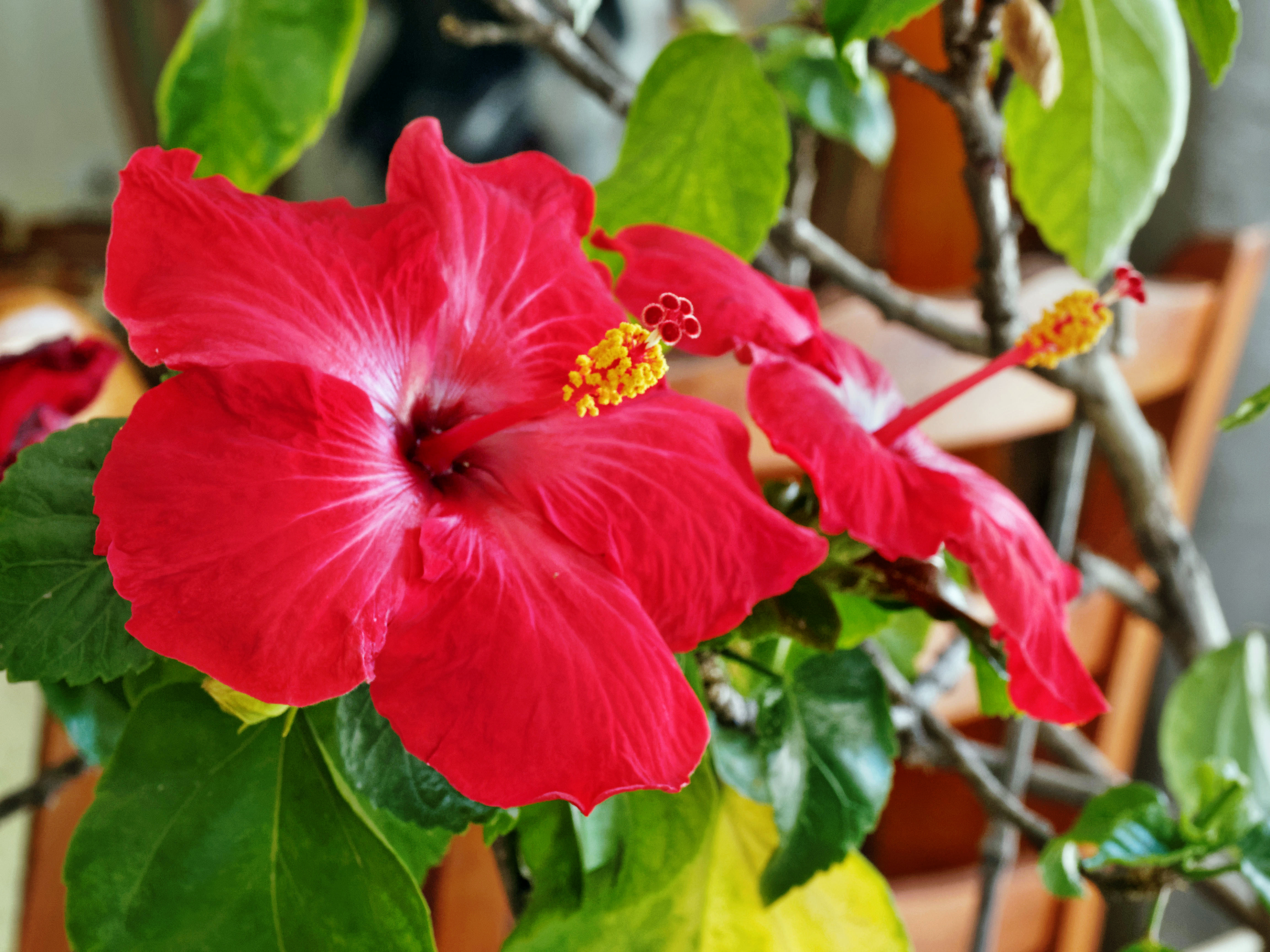Hibiscus-3-single.jpeg