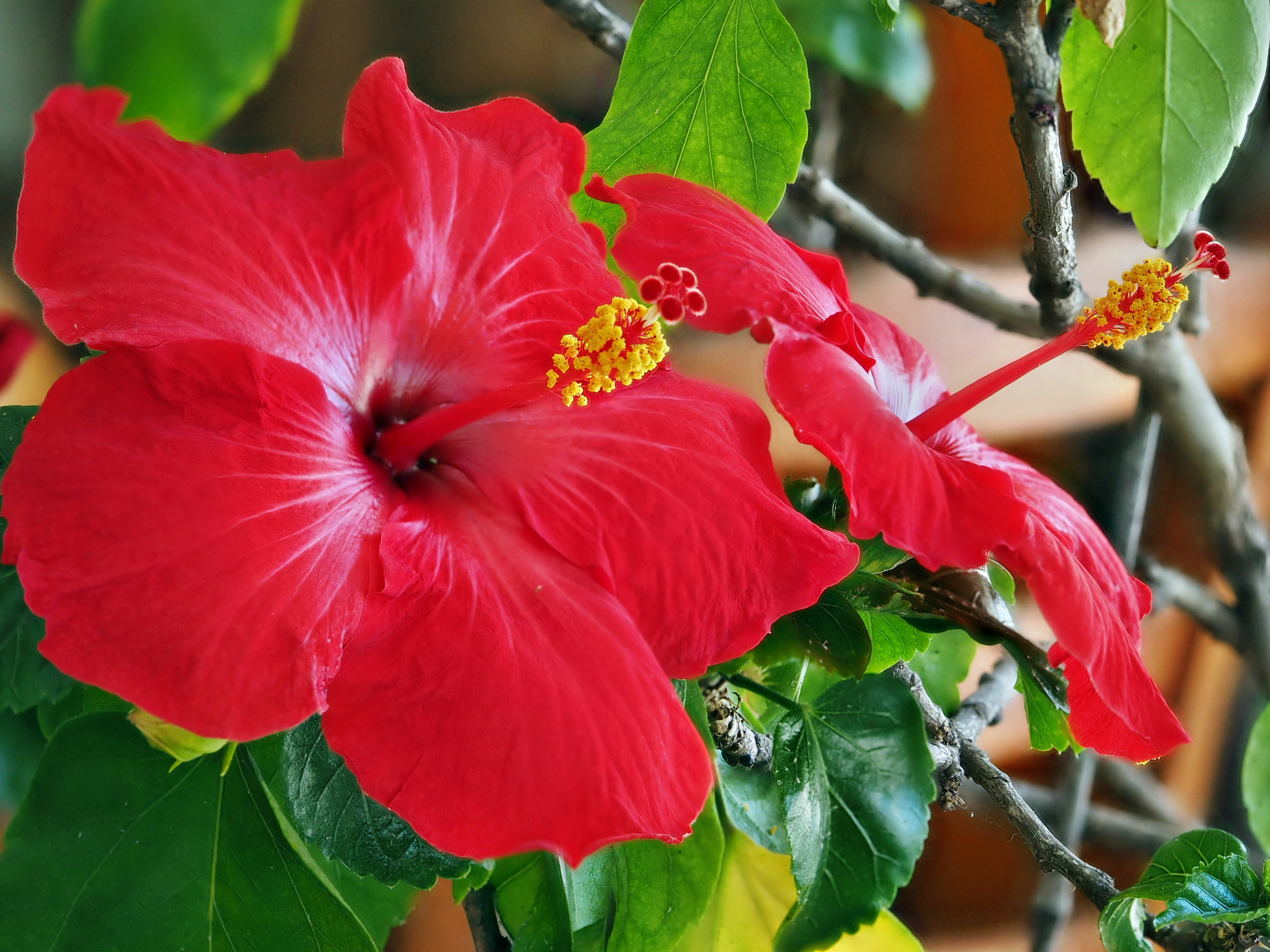 Hibiscus-3-stacked.jpeg