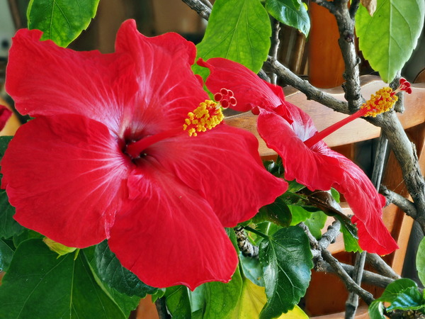Hibiscus-4-stacked.jpeg