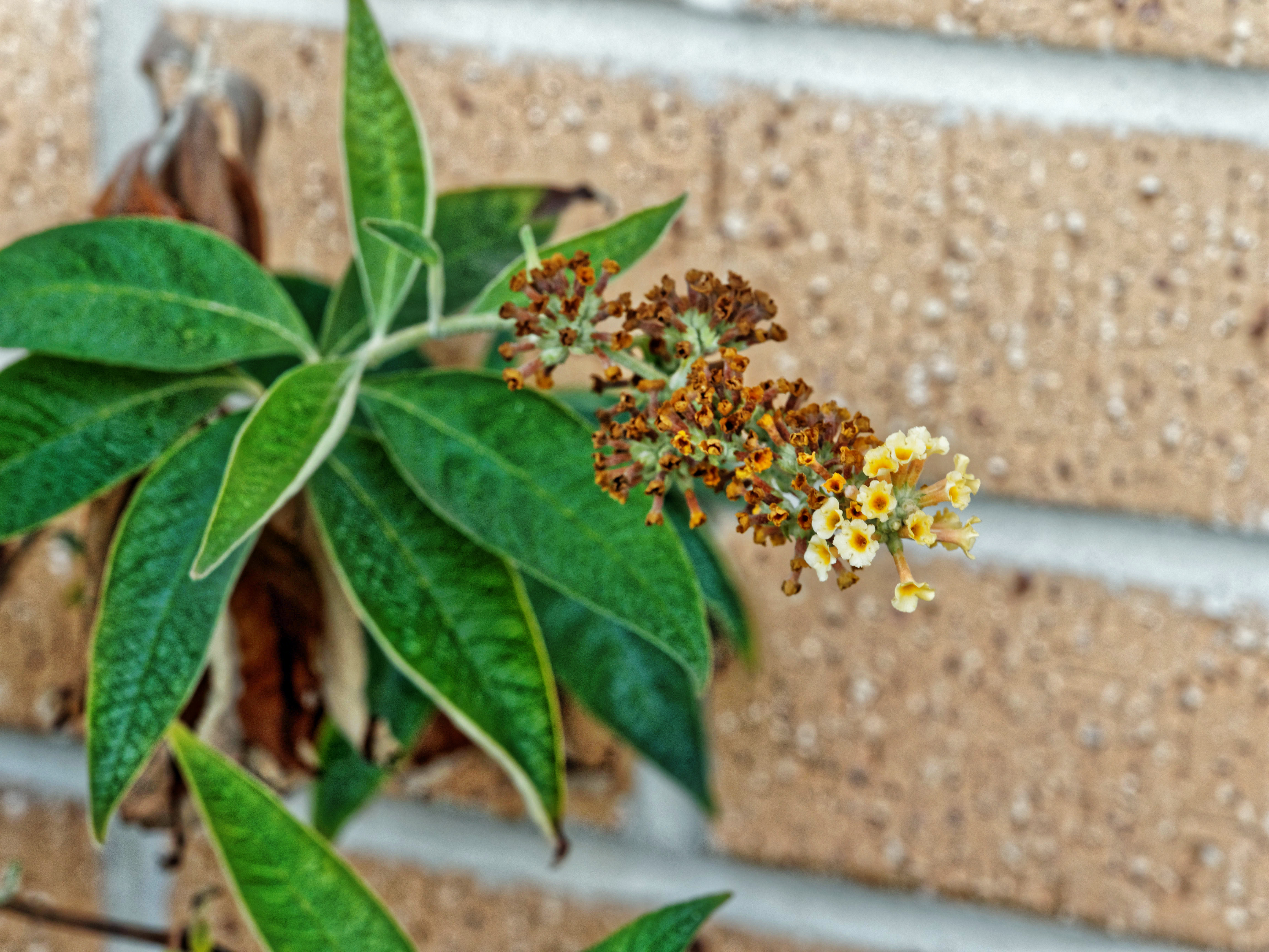 This should be Buddleja.jpeg.  Is it missing?