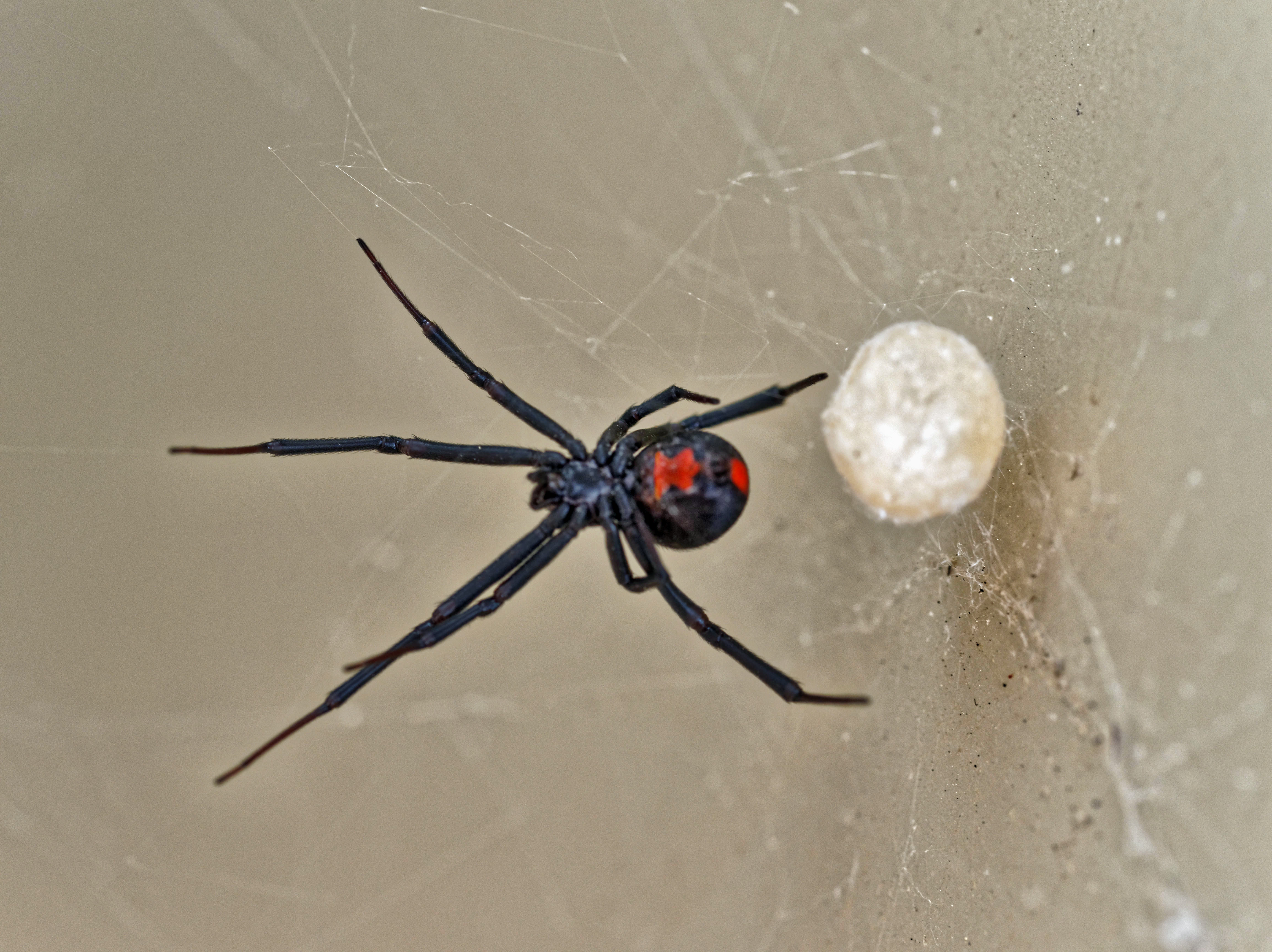 This should be Redback-1.jpeg.  Is it missing?