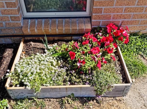 Alyssum-Petunias.jpeg