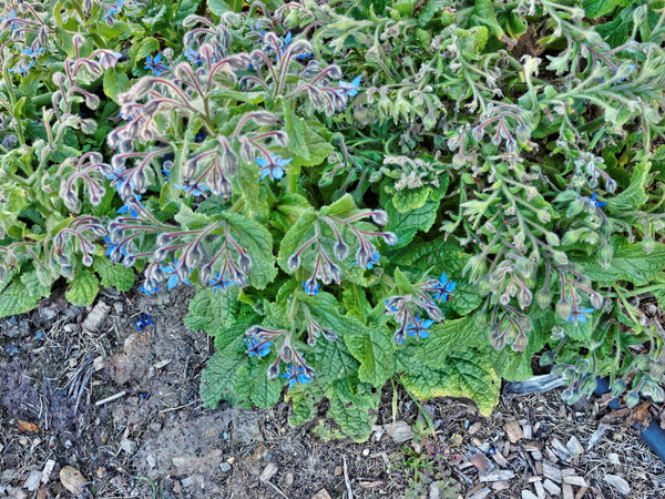Borage-2.jpeg
