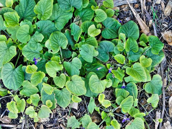 Violet-1.jpeg