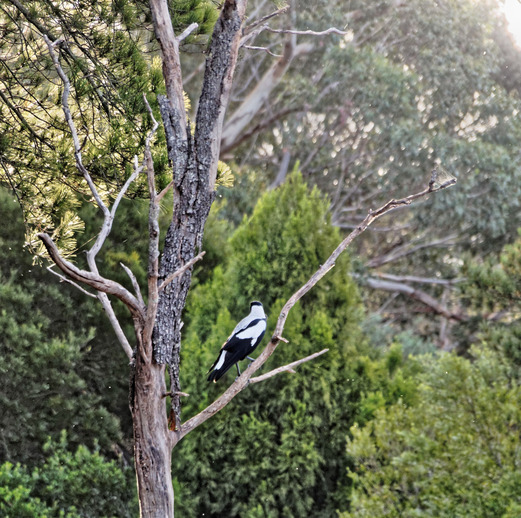 Magpie-in-tree.jpeg