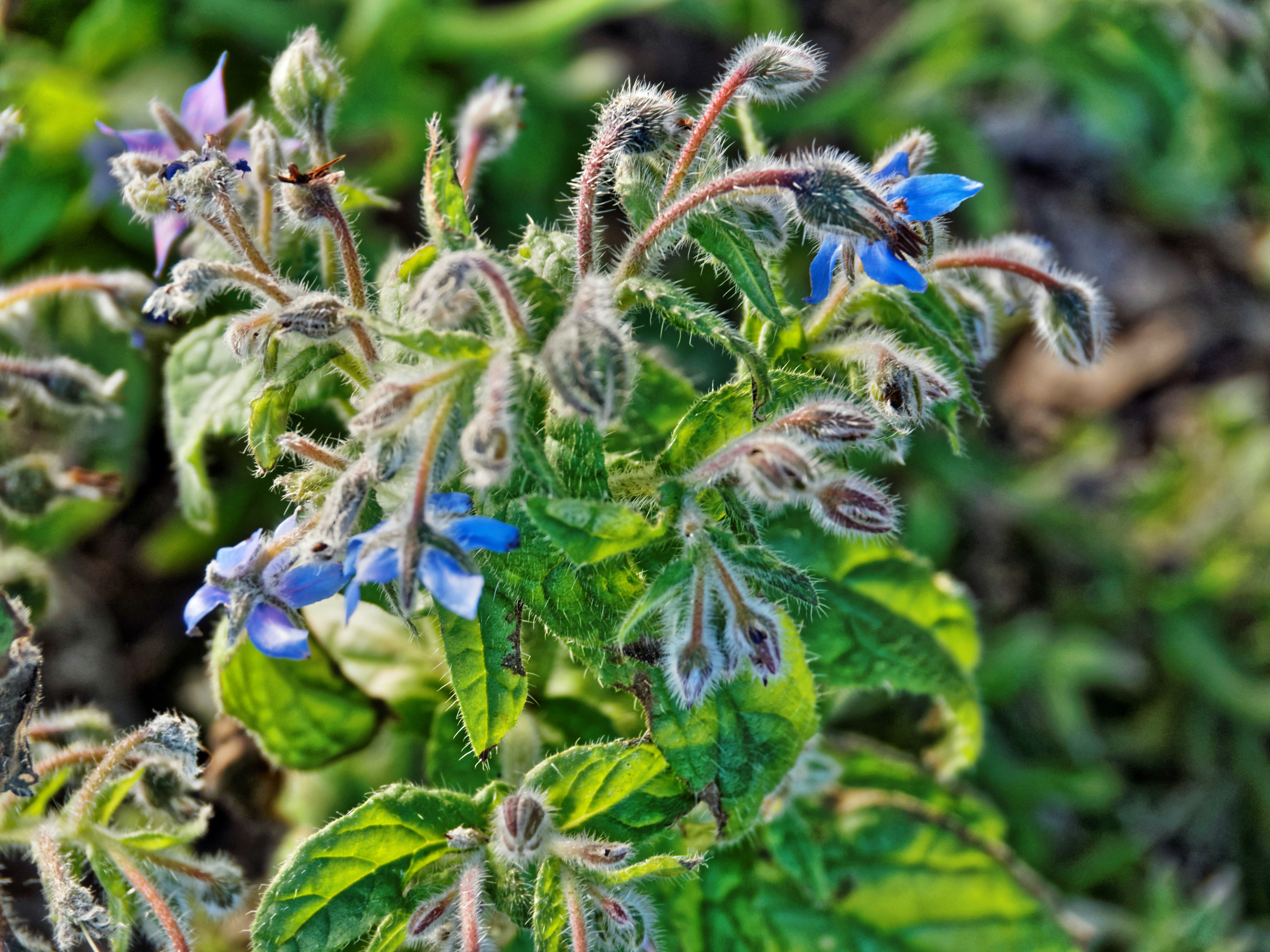 This should be Borage.jpeg.  Is it missing?