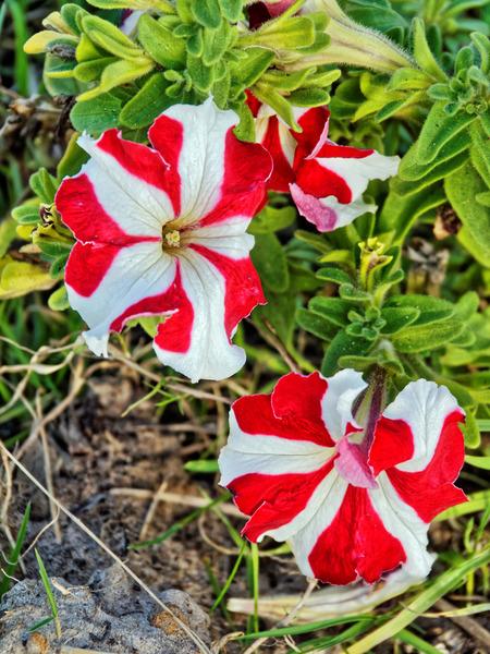 Petunia-6.jpeg