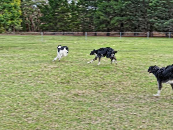 Dogs-in-paddock-4.jpeg