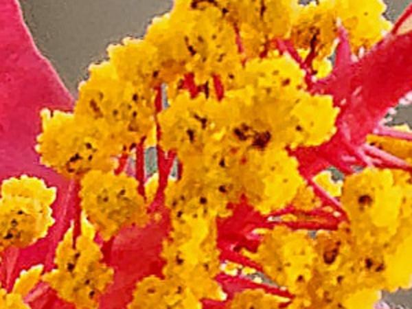 Hibiscus-1-detail-2.jpeg