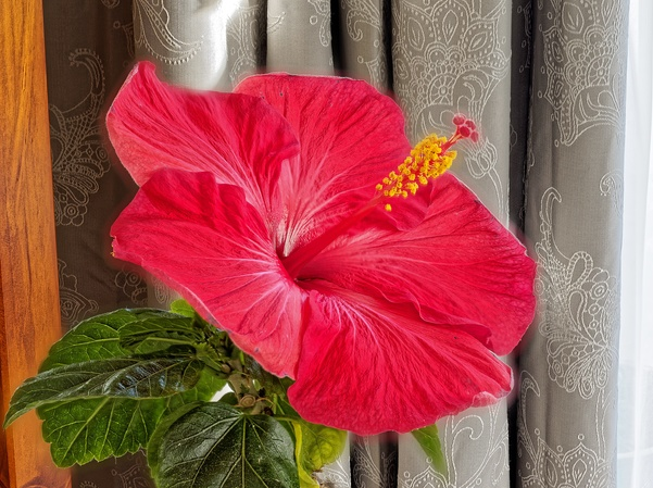 Hibiscus-1-full.jpeg