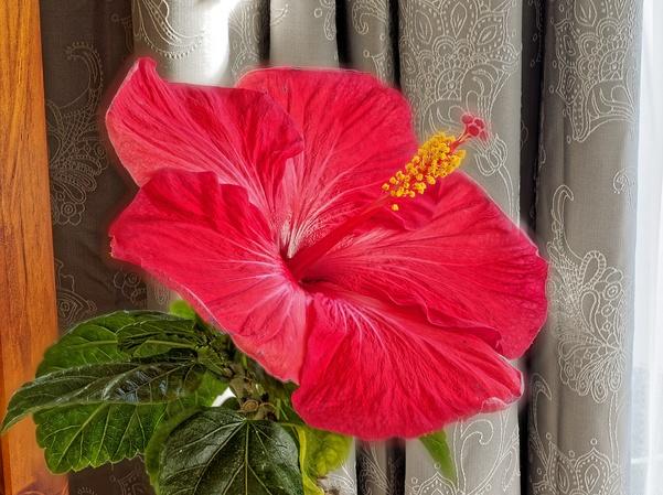 Hibiscus-2-full.jpeg