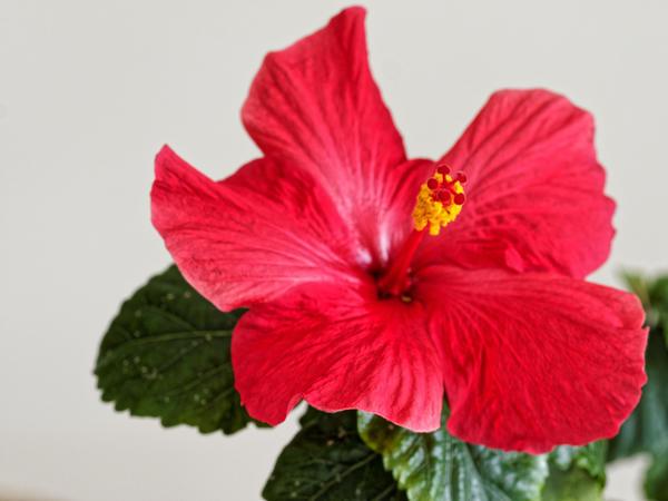 Hibiscus-alone-1.jpeg