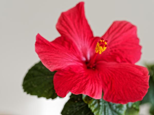 Hibiscus-alone-2.jpeg