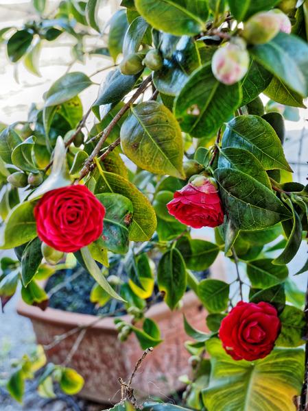 Camellia-1.jpeg