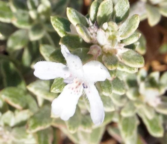 Westringia-fruticosa-detail.jpeg
