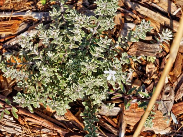 Westringia-fruticosa.jpeg