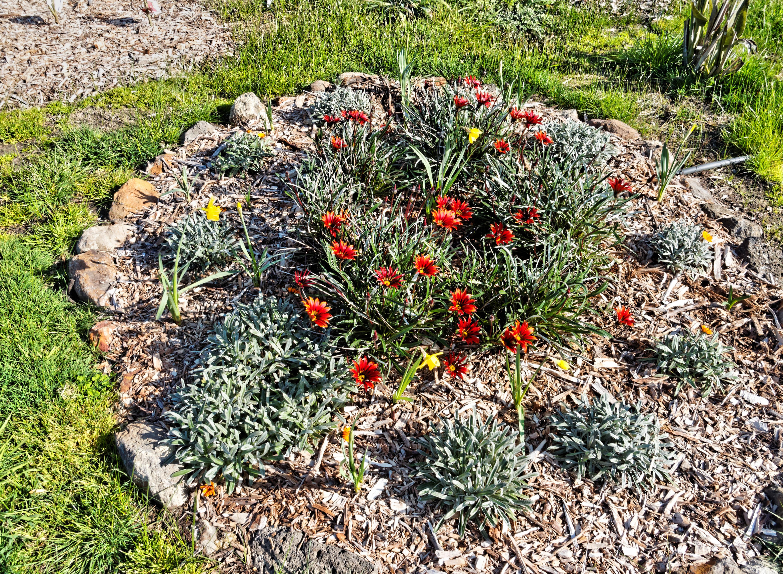 Gazanias-daffodils-2.jpeg