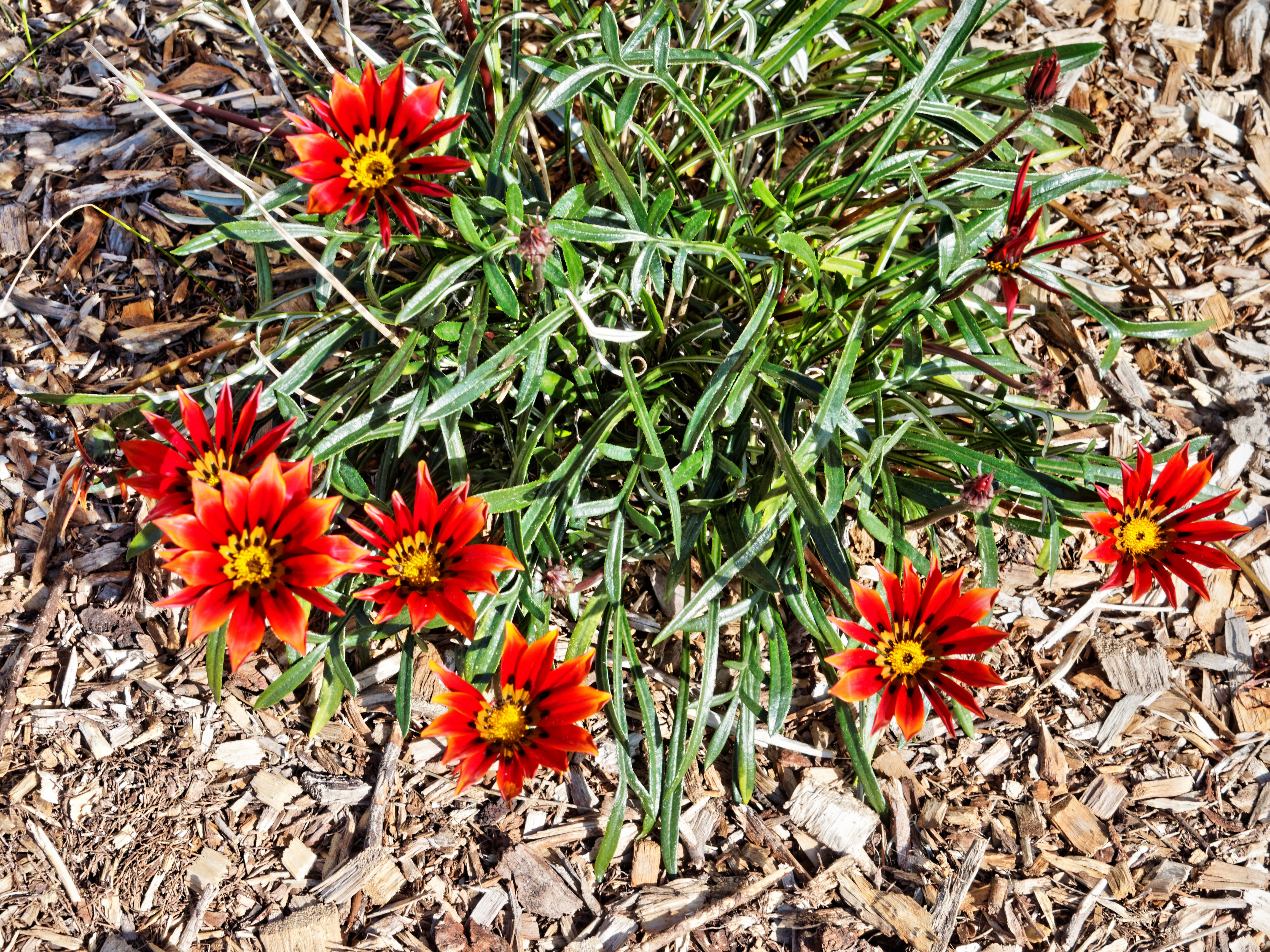 This should be Gazanias.jpeg.  Is it missing?