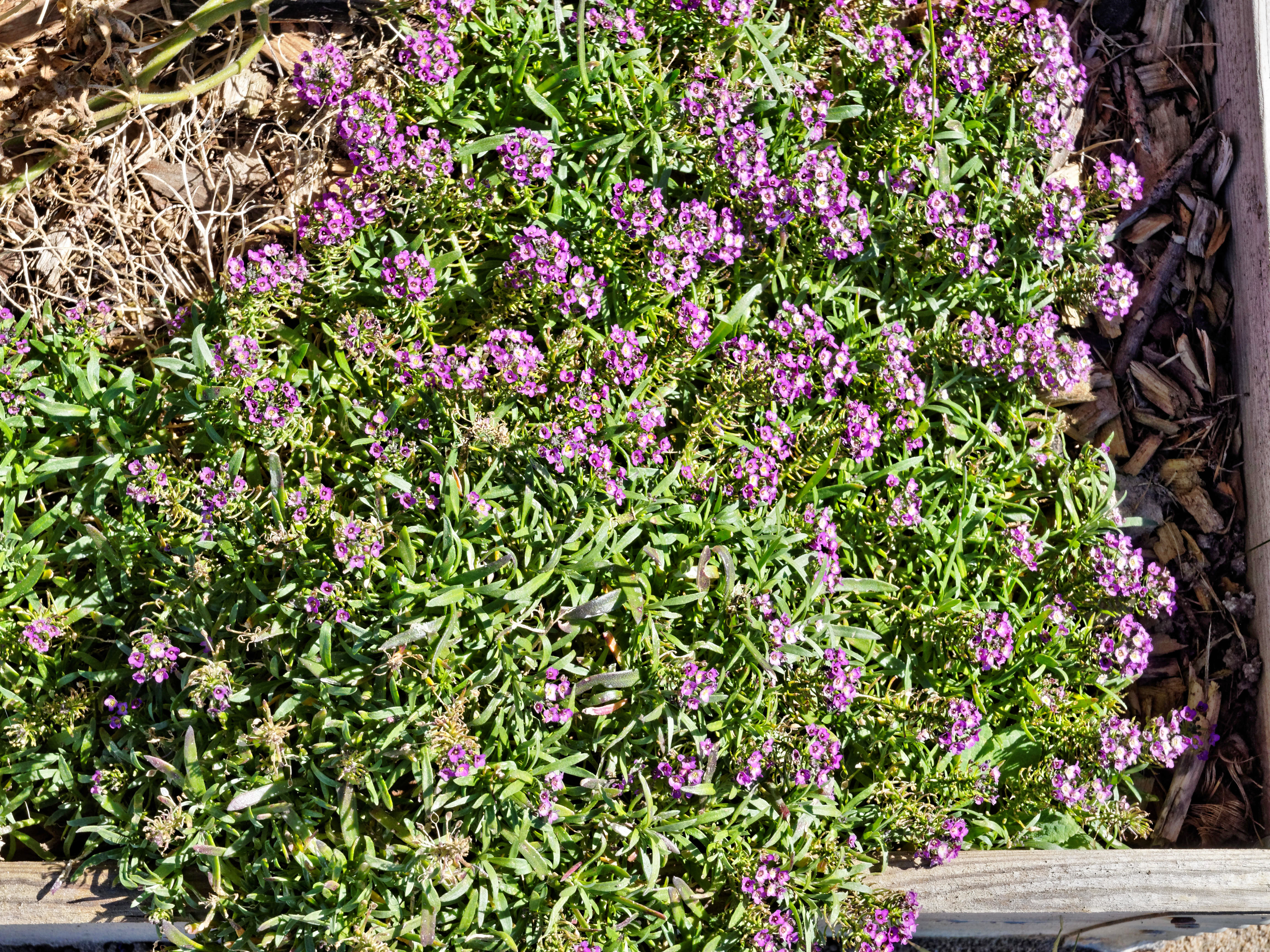 This should be Alyssum.jpeg.  Is it missing?