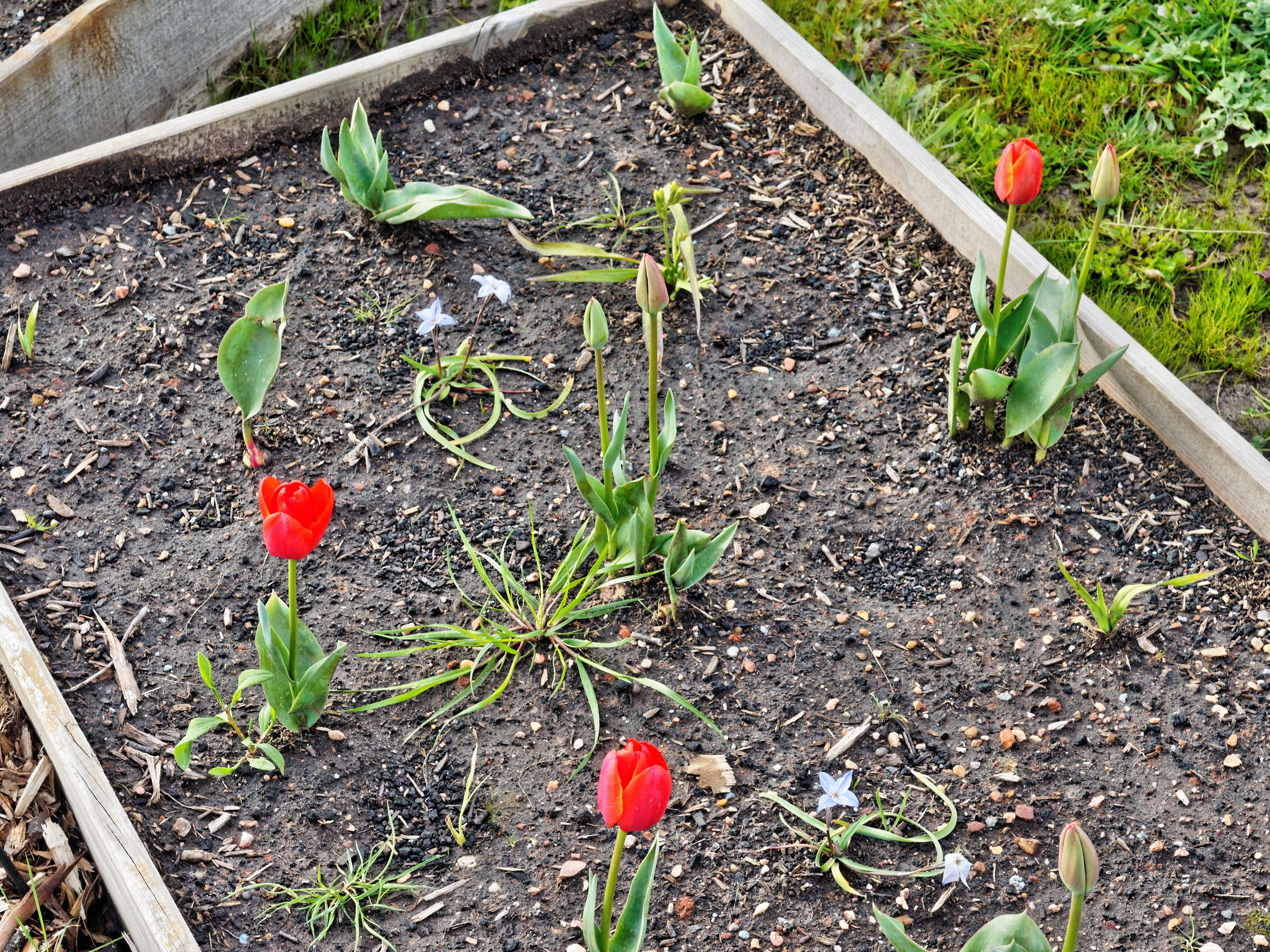 Tulips-1.jpeg