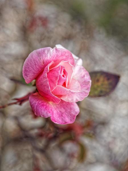 Roses-9.jpeg