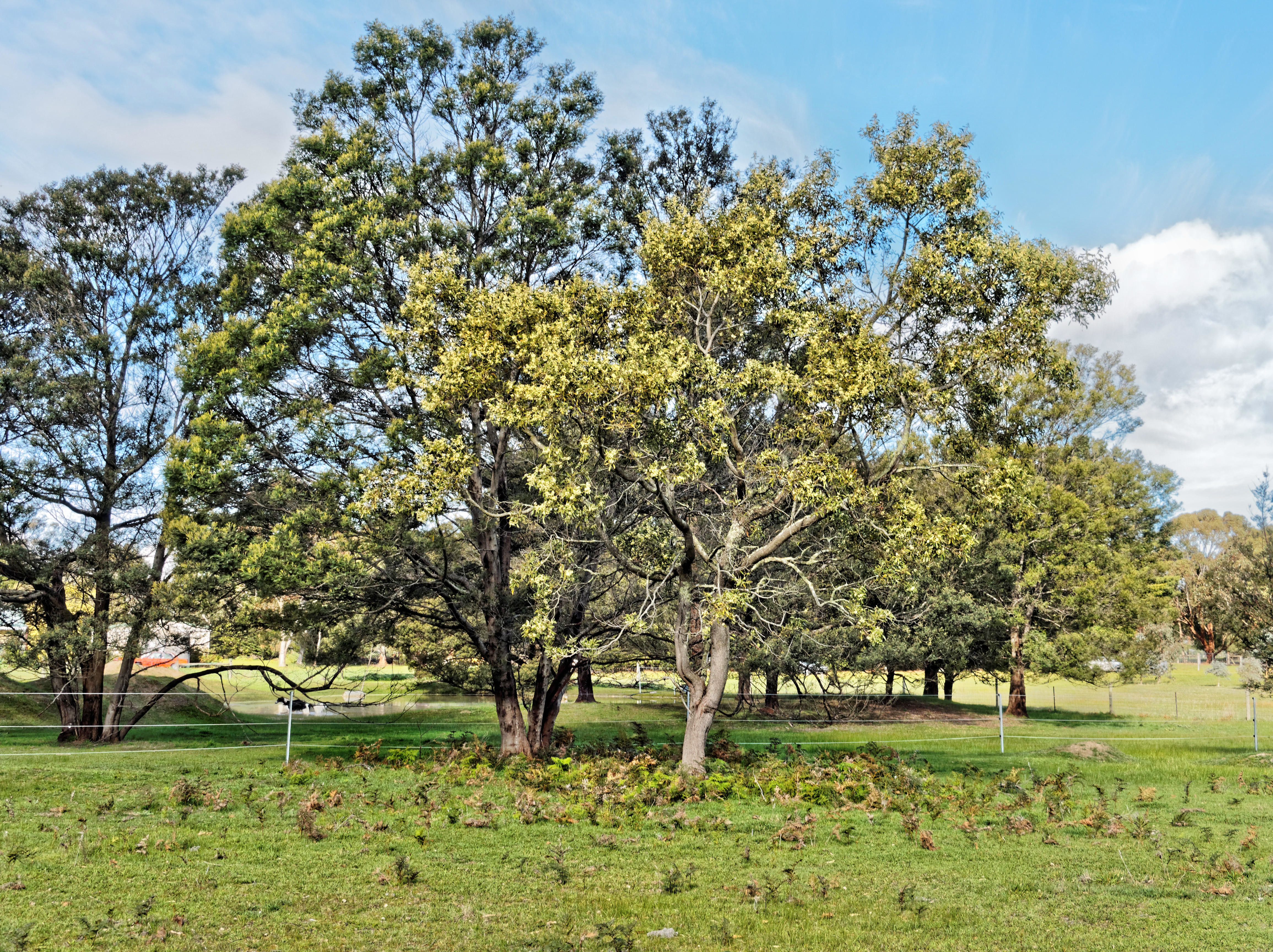 Acacia-melanoxylon.jpeg