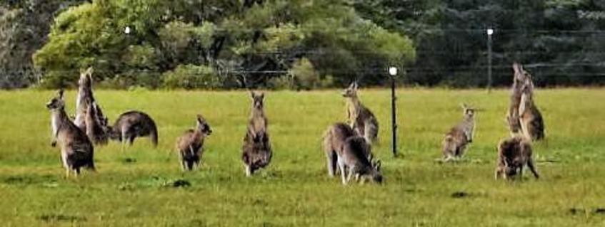 Kangaroos-1-detail.jpeg