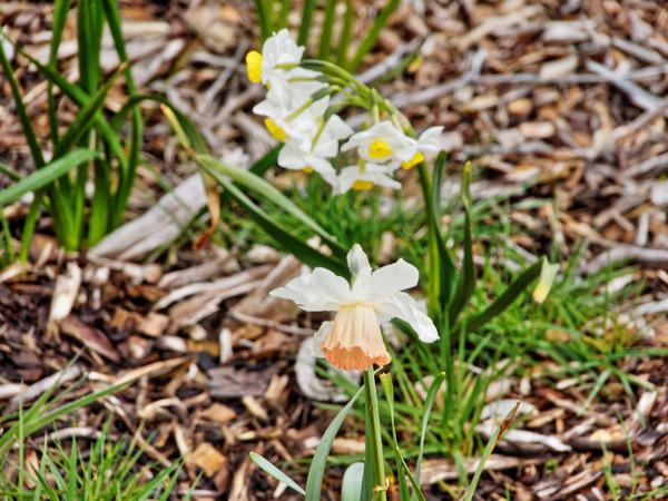 Narcissus-3.jpeg