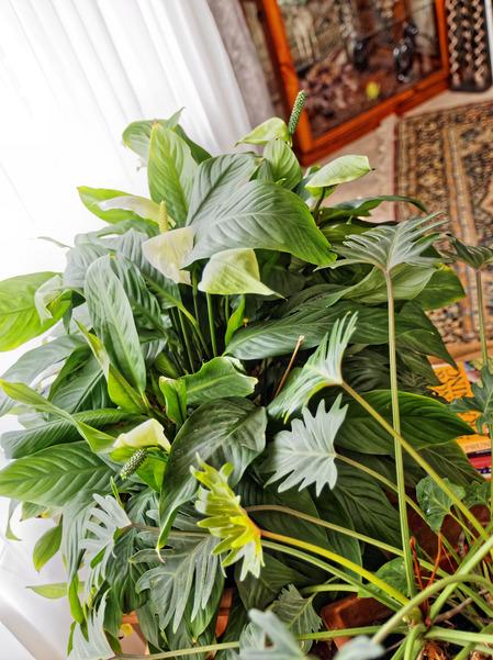 Spathiphyllum.jpeg