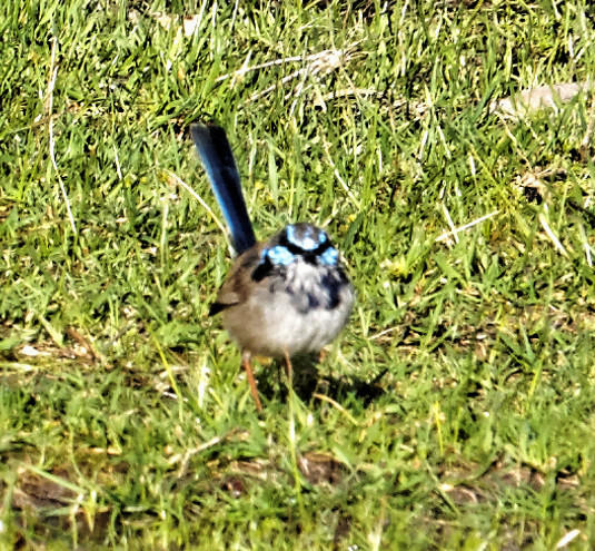 This should be Blue-wren-1.jpeg.  Is it missing?