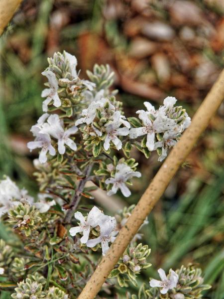 Westringia-fruticosa-3.jpeg